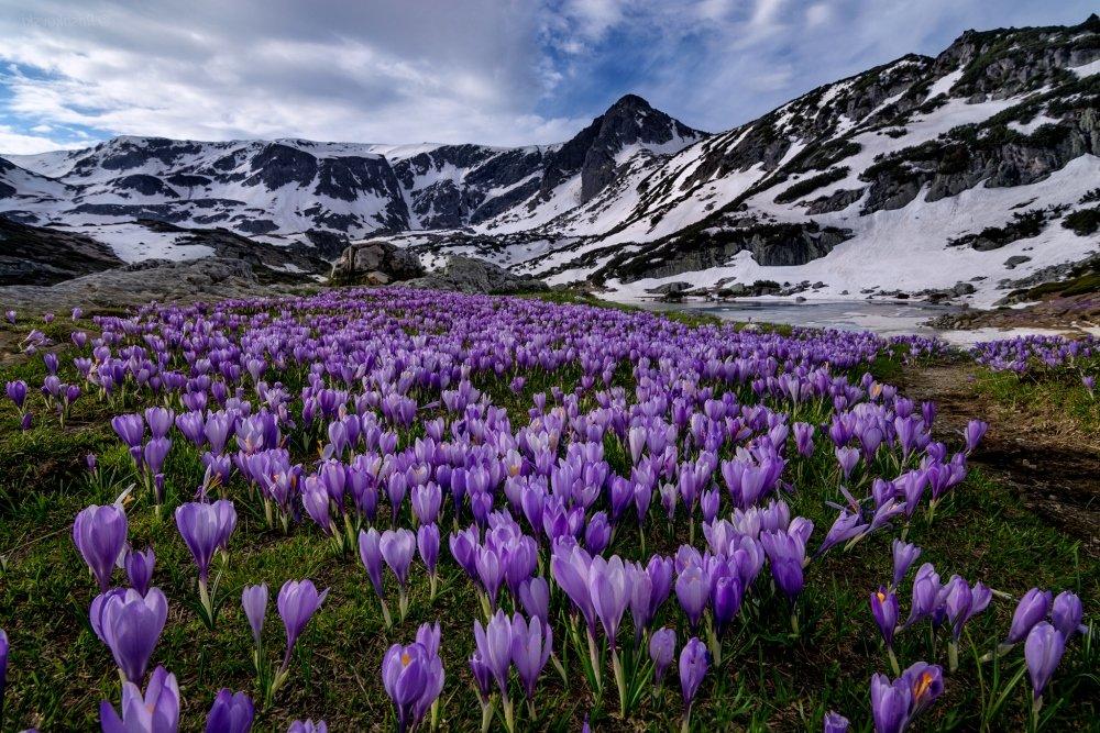 цветы в национальном парке Рила