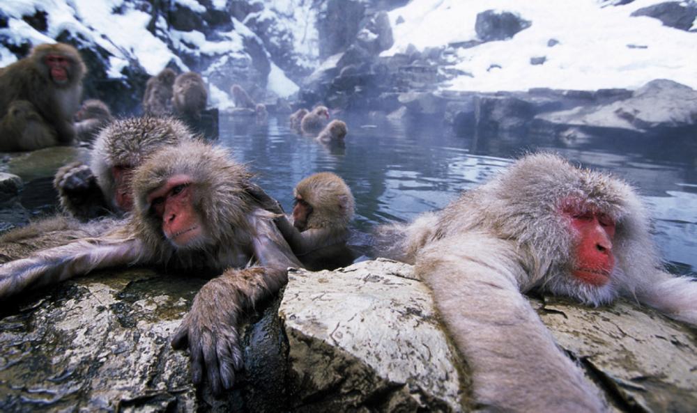 обезьяны, животные Японии