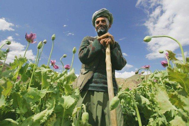 фото опиумных полей в Афганистане